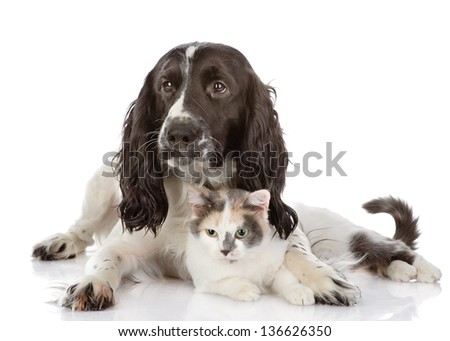 English Cocker Spaniel dog and cat lie together. looking at camera. isolated on white background