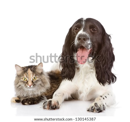 English Cocker Spaniel dog and cat together. isolated on white background