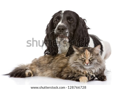 English Cocker Spaniel dog and cat together.  looking at camera. isolated on white background