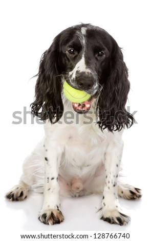 English Cocker Spaniel dog holding tennis ball. looking at camera. isolated on white background - stock photo