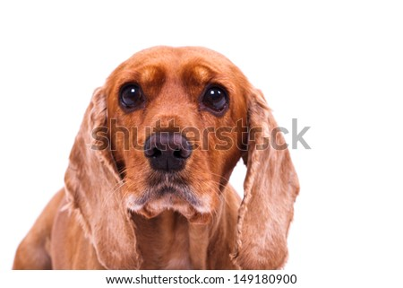 English cocker spaniel dog looking sadly, isolated on white background. - stock photo