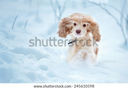 English cocker spaniel dog portrait in winter - stock photo
