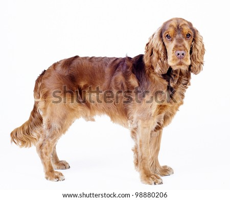 English Cocker Spaniel dog standing from side isolated on white, 1 year old male