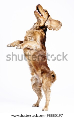 English Cocker Spaniel dog standing on his backfeet isolated on white, 1 year old male