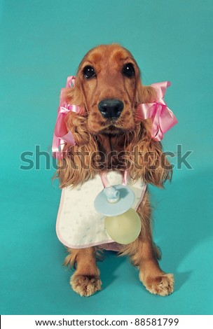 English cocker spaniel dog with a baby costume. - stock photo