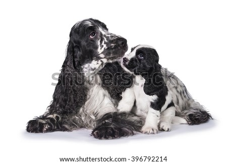 English cocker spaniel dog with its puppy - stock photo