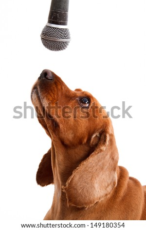 English cocker spaniel dog with microphone, isolated on white background.
