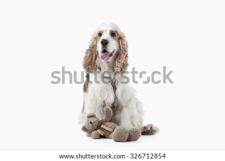 English cocker spaniel isolated on white background