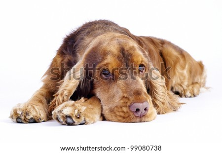 English Cocker Spaniel laying down tired, 1 year old male - stock photo
