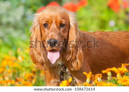 English Cocker Spaniel near flowers in garden - stock photo