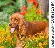 English Cocker Spaniel near flowers in park - stock photo