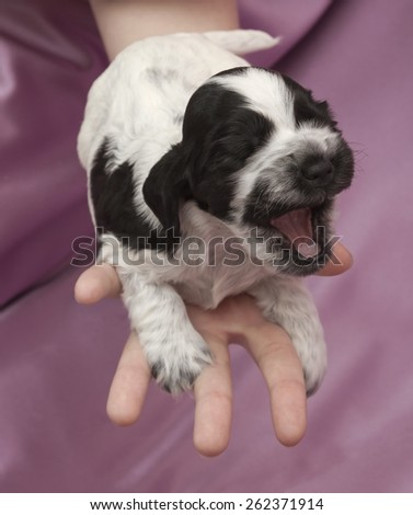 English Cocker Spaniel Puppies on hand. Three weeks old. - stock photo