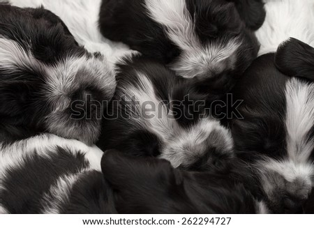 English Cocker Spaniel Puppies Sleeping in a Pile. Three weeks old.