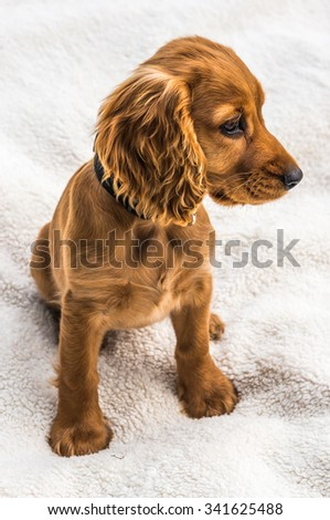 English cocker spaniel puppy isolated on white blanket background