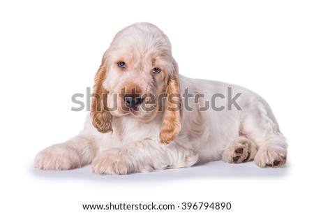 English cocker spaniel puppy lying isolated on white