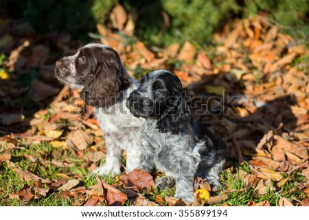 English Cocker Spaniel puppy playing outdoor in autumn sunny day