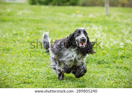 English Cocker Spaniel puppy running happy at the park