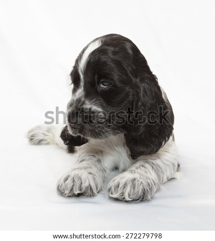 English Cocker Spaniel Puppy. Seven weeks old. - stock photo