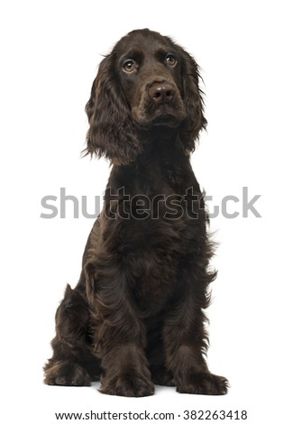 English Cocker Spaniel puppy sitting and looking away, isolated on white (5 months old) - stock photo