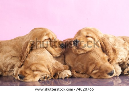 English Cocker spaniel  puppy sleeping