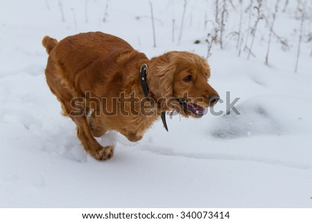 English Cocker Spaniel running in the snow