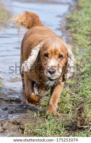 English cocker spaniel while playing in the river - stock photo