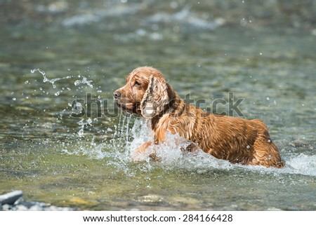 English cocker spaniel while swimming to you