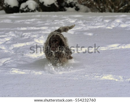 English Cocker takes pleasure in freshly fallen snow
