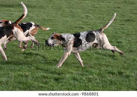 English foxhounds in the country - stock photo