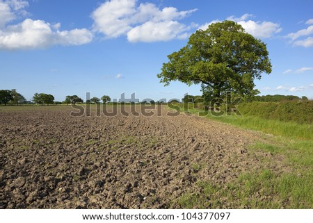english landscape with a cultivated field left fallow for summer and mature oak tree under a blue sky with fluffy white clouds