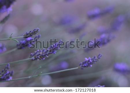 English Lavender - stock photo