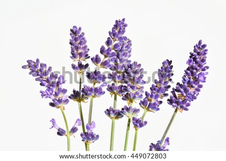 English lavender flower (LAVANDULA ANGUSTIFOLIA)
