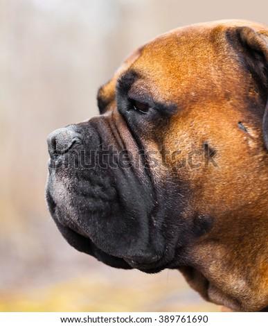 English Mastiff dog breed in the park - stock photo