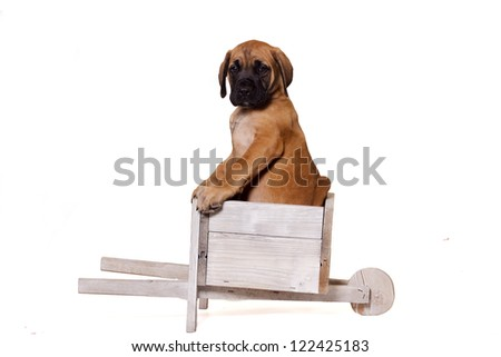 English Mastiff puppy sitting in a wooden old wagon. Isolated on a white background.