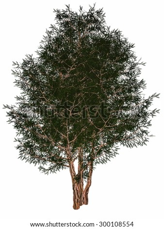 English or European yew, taxus baccata tree isolated in white background - 3D render - stock photo