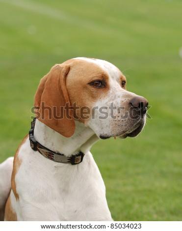 English Pointer dog puppy portrait in garden - stock photo