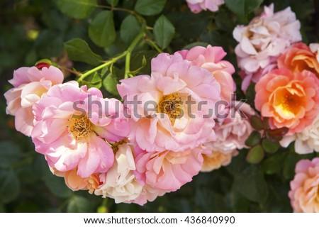 English Rose, Evelyn - stock photo