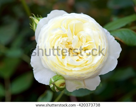 English rose from the David Austin English Rose collection, Claire Austin. - stock photo