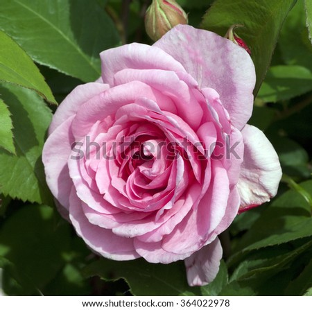 Gertrude Jekyll Birthday >> Rank roses Stock Photos, Images, & Pictures | Shutterstock