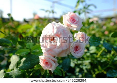 English Rose In The Garden With Sunshine