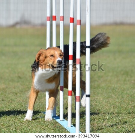 English Shepherd Doing Weave Poles at Dog Agility Trial - stock photo