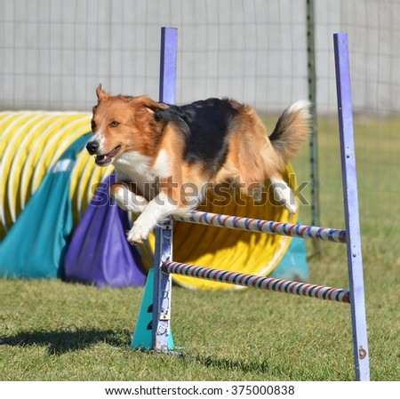 English Shepherd Leaping Over a Jump at a Dog Agility Trial - stock photo