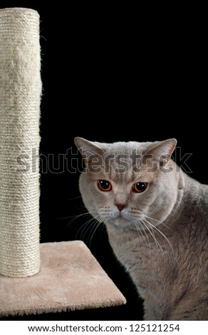 English Short Hair Cat and Scratching Post Isolated on Black Background - stock photo
