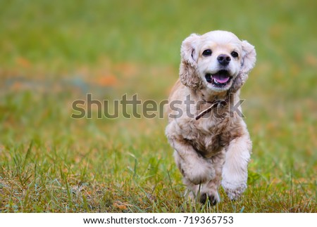 English Spaniel Running On The Grass