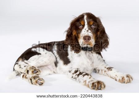 English Springer Spaniel against white background - stock photo