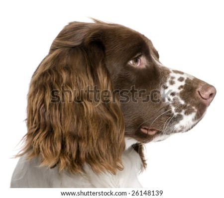 English Springer Spaniel (10 months) in front of a white background - stock photo