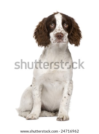 English Springer Spaniel puppy (4 months) in front of a white background - stock photo