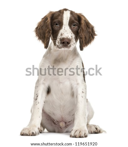 English Springer Spaniel sitting and looking at camera against white background - stock photo