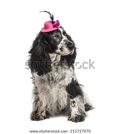 English Springer Spaniel wearing a hat - stock photo