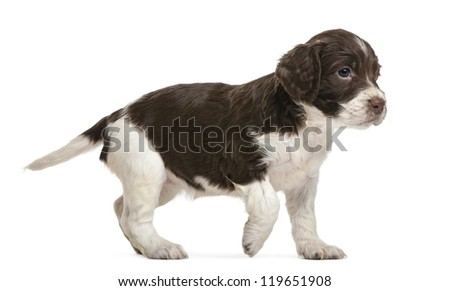 English Springer Spaniel, 5 weeks old, looking away against white background - stock photo